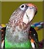 Léa the Cape Parrot
