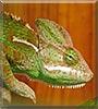 Draka the Yemen chameleon