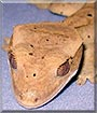 Starburst the Dalmatian Crested Gecko