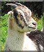 Penny the La Mancha, Mini Alpine Goat
