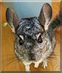 Mamrot the Chinchilla