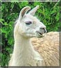 Shirley the Llama