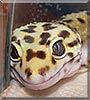 Loki the Leopard gecko