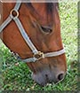 Norma Jean the Standardbred Horse