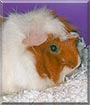 Cremepuff the Abyssinian Guinea Pig