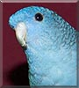 Drake the Lineolate Parakeet