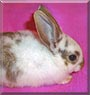 Allegra the Dwarf mix rabbit