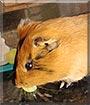 Romeo the Guinea Pig