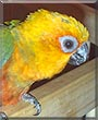 Kioko the Jenday Conure