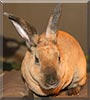 Snickers the Mini Rex rabbit