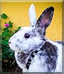 Sparta the Lilac, Dutch Rabbit
