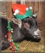 Oreo the Pygmy Goat