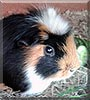 Asterix the Guinea Pig
