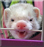 Phillip the Ferret