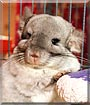 Poohcci the Mosaic Chinchilla