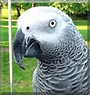 Neo the African Grey