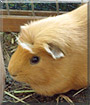 Socke the Texel Guinea Pig