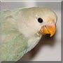 Citrine the Lovebird