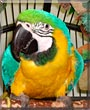 Romeo the Blue and Gold Macaw