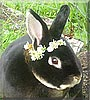 Black Berry the Rex Rabbit