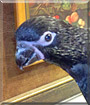 Malachai the Black Lorikeet