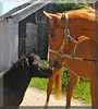 Blackjack, Biscuit the Pony, Horse