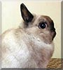 Cloud the Netherland Dwarf rabbit
