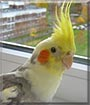 Tybo the Cockatiel