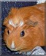 Fabio the Crested Guinea Pig
