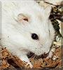 Minga the Siberian Dwarf Hamster