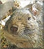 Sprocket the Degu