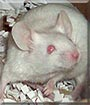 Tiger the Albino Mouse