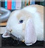 Luffy the Mini Holland Lop Rabbit
