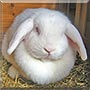 Bimberly the Lop Rabbit