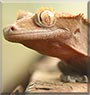 Ash the Crested Gecko