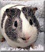 Mugsy the Guinea Pig