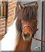 Ársól the Icelandic Horse