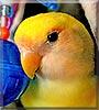 Mango the Lovebird