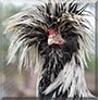 Elvis the Polish Crested Rooster