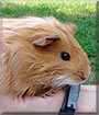 Punky the Guinea Pig