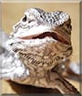Scary the Bearded Dragon