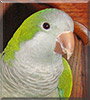 Cowboy the Quaker Parrot
