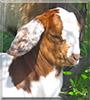 Miko the Nubian Goat