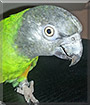 Kyra the Senegal Parrot