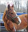 Penny the Quarter Horse