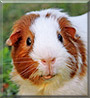 Zorro the English Guinea Pig