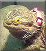 Indy Anna the Bearded Dragon