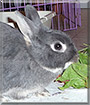 Chloe the Silver Marten Rabbit