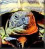 Bessie the Horsfield Tortoise