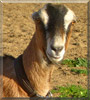 Paloma the Lamancha Goat